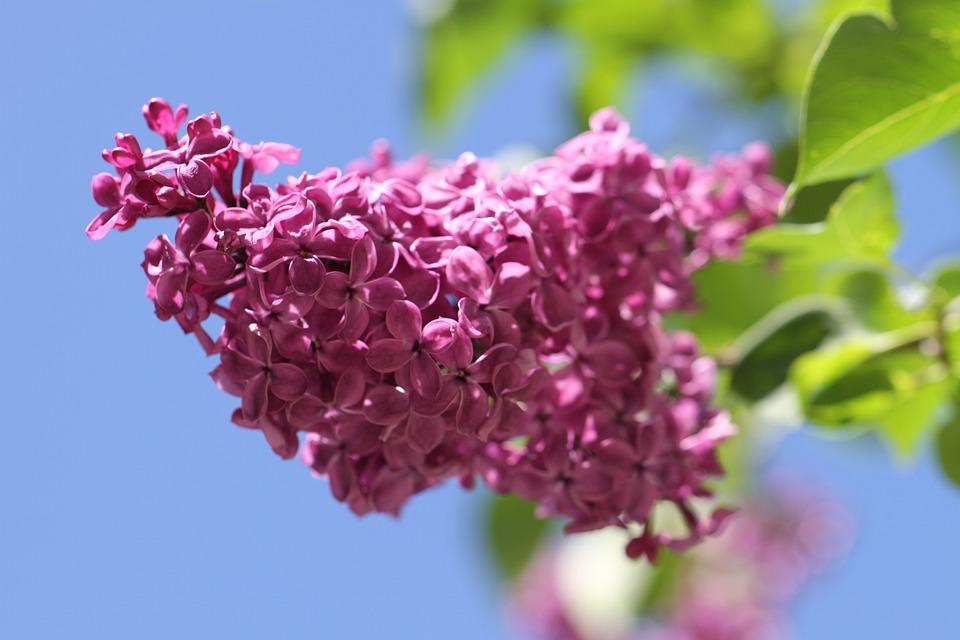 Tout savoir sur le lilas